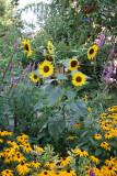 Garden View - Sunflowers, Blackeyed Susans...