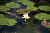 Bethesda Fountain - Water Lilies