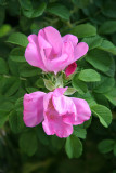 Pink Rugosa Roses