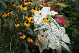 Garden Plot View - Calalium, Blackeyed Susans & Geraniums