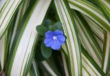 Unknown Blue Flower in Summer Grass