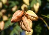 Golden Rain Tree Seed Pods