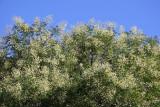 Scholar Tree Blossoms