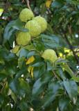 Osage Orange Seed Balls
