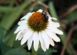 Echinacea & Bee