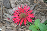 Grounded Bee Balm Flower