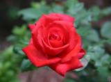 Orange Red Rose