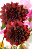 Home Grown Garden Bouquet - Burgundy Dahlias