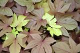 Sweet Potato Foliage