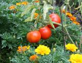 Vine Ripe Tomatoes & Marigolds