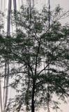Locust Tree at Construction Site