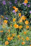 Garden View - Cosmos Flowers