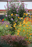 Garden View - Cosmos Flowers & Rose of Sharon Bush