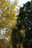 Sycamore & Cherry Tree Foliage