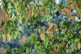 Dogwood Tree Foliage