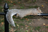 Streched Out Squirrel