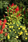 Cocks Comb, Salvia & Marigolds