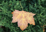 Sycamore Tree Leaf