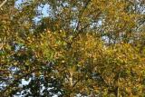 Sycamore Tree Foliage