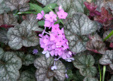 Pink Phlox & Begonia Foliage