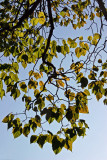 Catalpa Tree Foliage