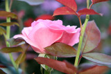 Pink Rose with Foliage