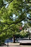 Scholar Trees or Japanese Pagoda Trees