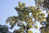 Black Locust Tree Foliage