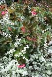 Begonia & Unknown Foliage