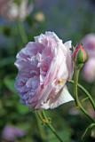 Rosa Souvenir de la Mal Maison