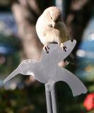 Sparrow on a Humming Bird