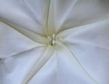 Moonflower Detail
