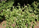 Aegopodium podagraria or Bishop's Weed