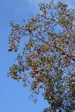 Apple Tree Crop
