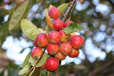 Fall Fruit - Crab Apples