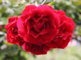 Don Juan Rose Bouquet