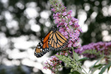 Monarch Butterfly on a Butterfly Bush Blossom