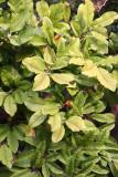 Magnolia Tree Foliage