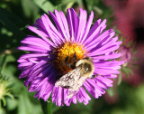 Bee on an Aster Blossom