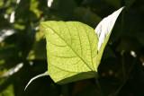 Bean Stalk Foliage