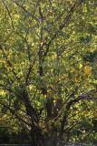 Apple Tree Foliage