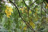 Mulberry Foliage