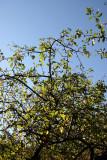 Crab Apple Tree Foliage