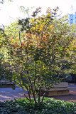 Dwarf Red Leafed Maple Foliage