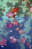 Foliage in a Pool of Water