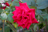 Mr. Lincoln Red Rose