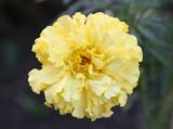 Large Marigold Blossom