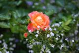 Peach Rose & Calamintha