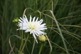 White Dahlias & Summer Grass
