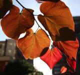 Cercis Tree Foliage
